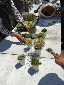 セダム。いくつかの種類があります。始まる前に植物のレクチャー。