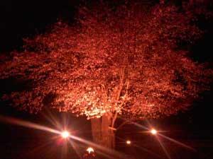 [樽前日記] 樽前小学校の100年桜が満開となりました。 - 普段お世話になっている樽前小学校には、グラウンドの真ん中には樹齢100年にもなる一本の山桜の木が立っています。一時期、弱っている時期もありましたが、今年も見事満開となりました。町内の方の急な計らいで桜をライトアップしましたので、ご紹介いたします!!来年にはぜひarty+ででも夜桜鑑賞を企画したいな〜、という話もあがっています。