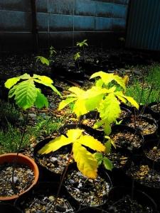 樽前ドングリプロジェクト。 - 2年前の秋に樽前小学校で拾ったドングリは最初の春に芽を出して、2回目の春となる今春はすっかり木の佇まいです。そろそろ移植の時期になりました。