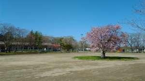 百年桜 - 名物、樽前小学校の百年桜が満開です。校庭の真ん中に植わっているので、不思議だけど格好いい老木です。毎年全校児童で記念撮影をしたり、運動会のスタート地点になったりと間違いなくシンボルになっています。2年に一度、美術館に変貌する「樽前arty展」のときは多くのアーティストに刺激を与えてきました。またこの桜から作品が生まれることが楽しみです!