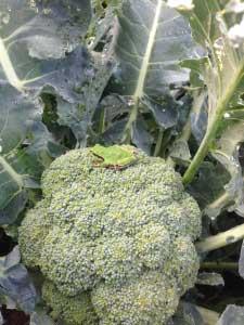 今年は畑も広くなり、ブロッコリーを毎日食べていたのもこのころ。